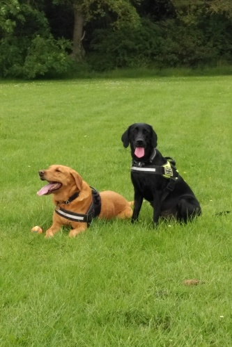 Molly and Ozzy the Labradors